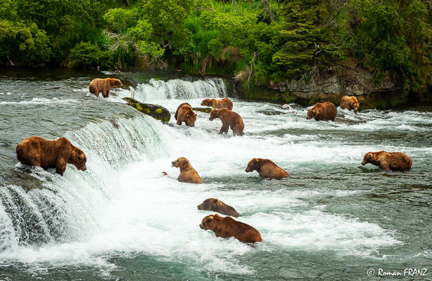 Grizzly´s at the falls