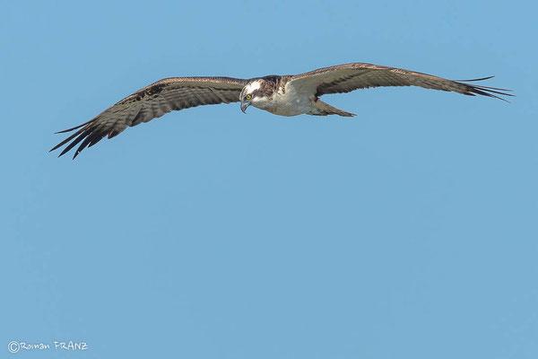 Fischadler auf der Suche nach Beute