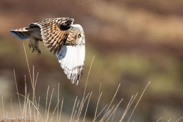 Sumpfohreule, South Uist Schottland
