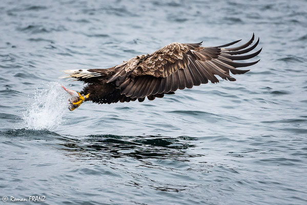 Seeadler mit Beute, Insel Skye Schottland
