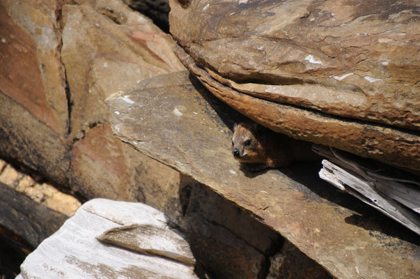 Le Dassie ou Daman du Cap aussi appelé Daman