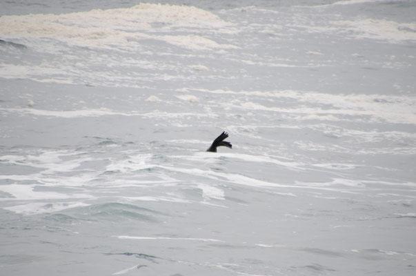 Phoques à Mossel Bay