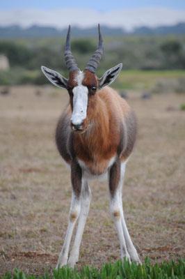 Antilope Blesbok ou Bontebok.