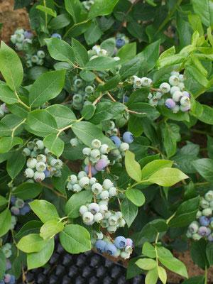 Dank Sonne und warmen Temperaturen wachsen die Beeren kräftig und beginnen sich zu verfärben.