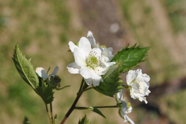 Bereits im April blühen die Brombeeren.