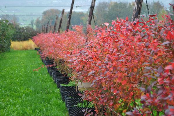 Wenn Anfang September die Ernte vorbei ist und die Tage kürzer werden, beginnen sich die Blätter zu verfärben.