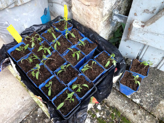 Plants de tomates (mars 2018)