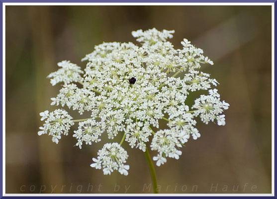 Wichtige Nahrungspflanze der Schwalbenschwanz-Raupen - Wilde Möhre (Daucus carota)