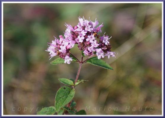 Gemeiner Dost (Origanum vulgare)