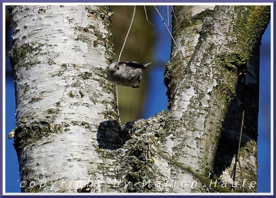 Schwanzmeisen-Paar (Aegithalos caudatus) beim Nestbau in einer Birke, 05.04.2020, Staaken/Berlin