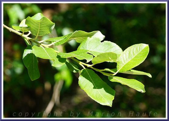 Blätter der Salweide (Salix caprea)