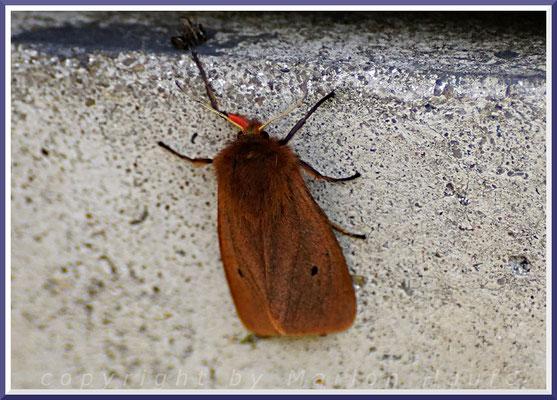 Zimtbär (Phragmatobia fuliginosa), 25.08.2018, Staaken/Berlin