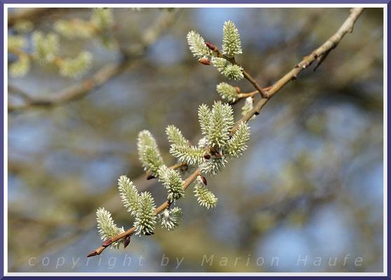 Weibliche Blüten der Salweide (Salix caprea)