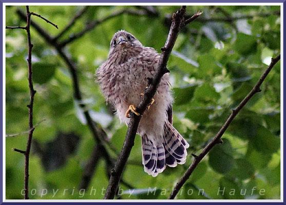 Junger Turmfalke (Falco tinnunculus), 25.06.2017, Berlin.