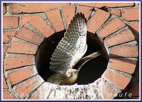 Turmfalken (Falco tinnunculus) im Jungfalkengefieder, 17.06.2015, Berlin