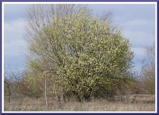 Blühende Salweide (Salix caprea), März 2019, Staaken/Berlin
