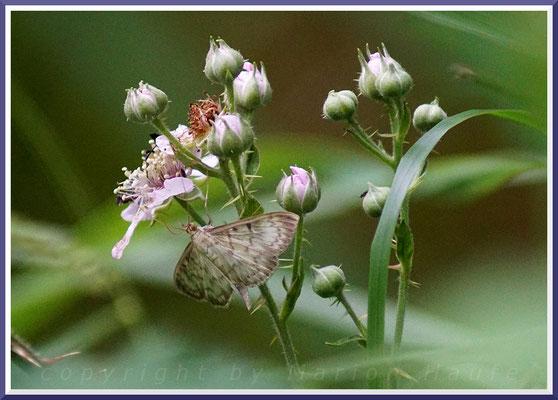 Nahrungspflanze der Falter - Brombeere  (Rubus sectio Rubus)