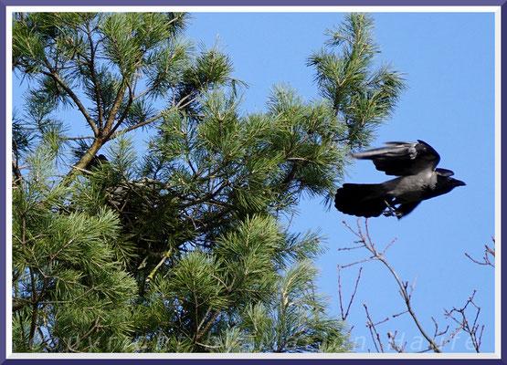 Nebelkrähen (Corvus corone) beim Nestbau, März 2019, Staaken/Berlin