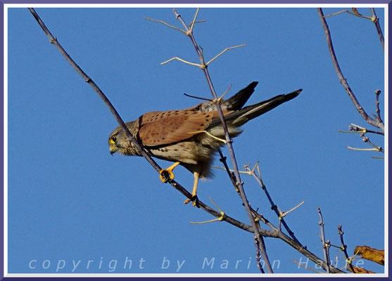 Erwachsenes Turmfalkenmännchen (Falco tinnunculus) bei der Ansitzjagd, 24.10.2020, Land Brandenburg