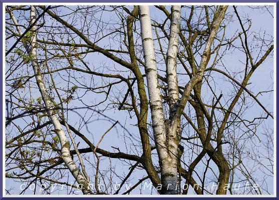 Perfekt getarnt ist das Schwanzmeisen-Nest (Aegithalos caudatus) von Weitem kaum zu erkennen, 08.04.2020, Staaken/Berlin