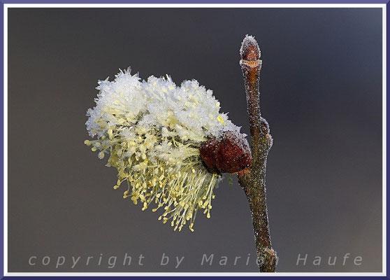 Männliche Sal-Weidenblüten (Salix caprea) wurden von Frost und Schnee überrascht, März.