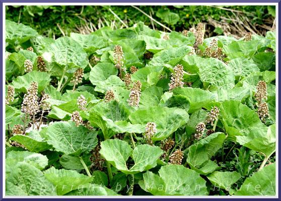 Gewöhnliche Pestwurz (Petasites hybridus (L.)
