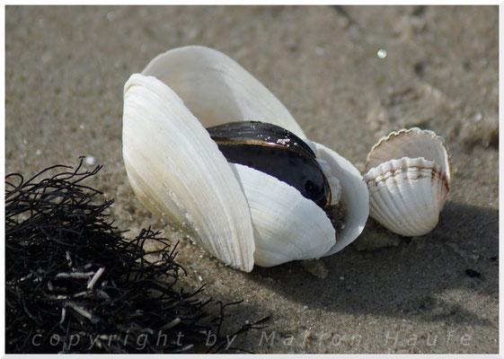 Sandklaff-, Mies- und Herzmuscheln.