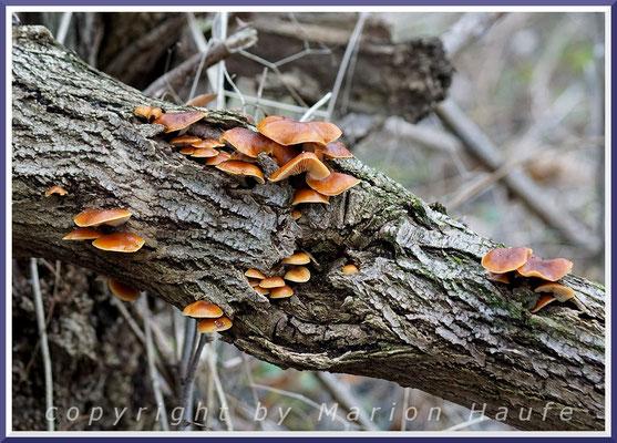 Gemeine Samtfußrüblinge (Flammulina velutipes) auf Salweide, Dezember 2016