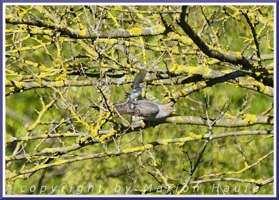 Eine Klappergrasmücke (Sylvia curruca) verjagt in Nestnähe einen Kuckuck (Cuculus canorus), Mai 2021, Hahneberg/Berlin.