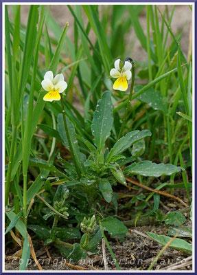 Acker Stiefmütterchen (Viola arvensis)
