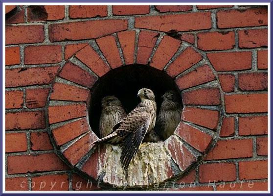 Turmfalken (Falco tinnunculus) im Jungfalkengefieder, 13.06.2019, Berlin