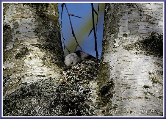 Schwanzmeisen-Paar (Aegithalos caudatus) beim Nestbau in einer Birke, 03.04.2020, Staaken/Berlin