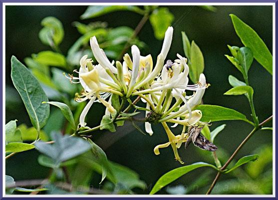 Wald-Geißblatt (Lonicera periclymenum)