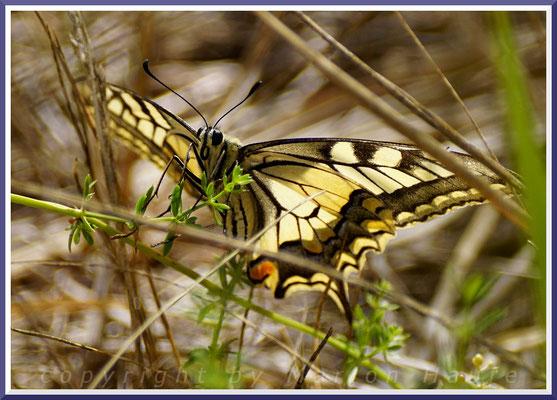 Schwalbenschwanz (Papilio machaon), 11.07.2018, Staaken/Berlin