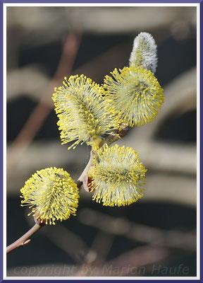 Männliche Blüten der Salweide (Salix caprea), März 2019, Staaken/Berlin