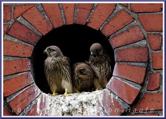 Turmfalken (Falco tinnunculus) im Jungfalkengefieder, 15.06.2019, Berlin