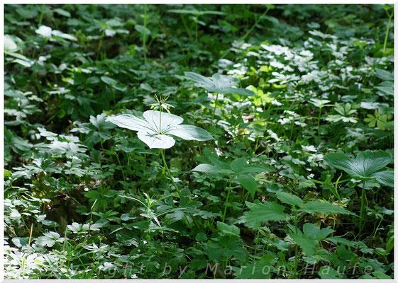 Vierblättrige Einbeere  (Paris quadrifolia), 15.05.2015, Brieselang/Land Brandenburg
