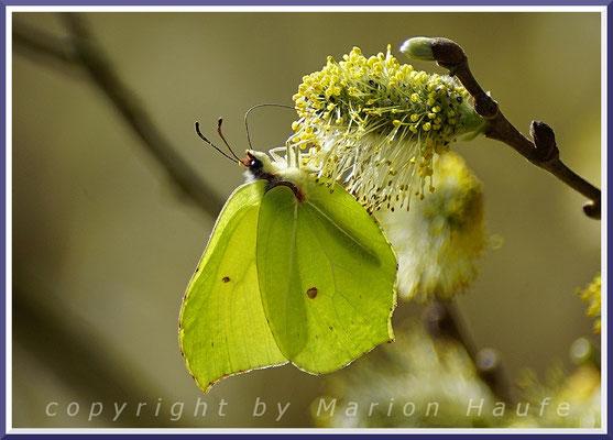Zitronenfalter (Gonepteryx rhamni) an einer männlichen Sal-Weidenblüte.