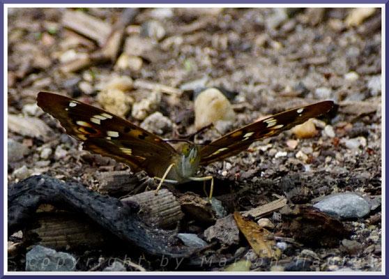 Männlicher Großer Schillerfalter (Apatura iris), 22.06.2019, Land Brandenburg
