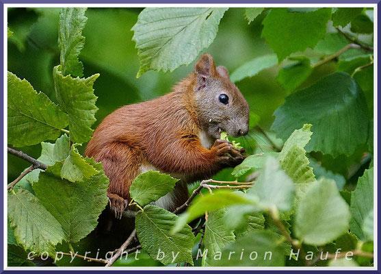 Ein Eichhörnchen (Sciurus vulgaris) erntet die ersten Haselnüsse, August 2021, Hahneberg/Berlin.