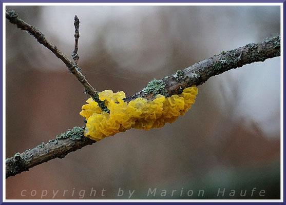Goldgelber Zitterling (Tremella mesenterica) am Hahneberg - Totholz/Eiche untere Zweige am Baum