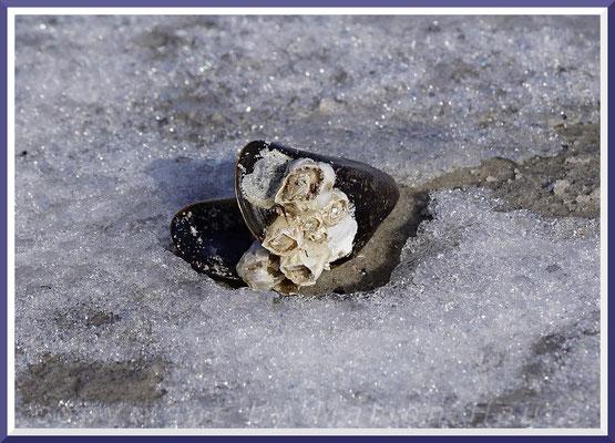 Muschel und Seepocken auf Eis, Februar 2018