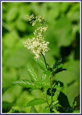 Hauptnahrungspflanze der Raupen,  Echtes Mädesüß (Filipendula ulmaria)