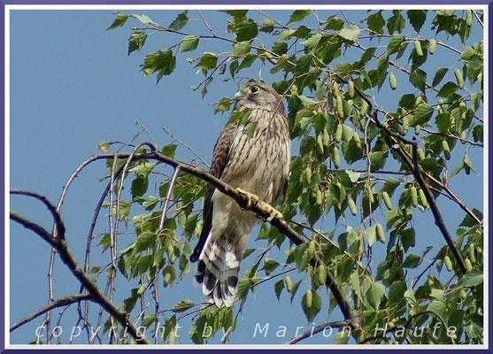 Junger Turmfalke (Falco tinnunculus), 17.06.2015, Berlin.