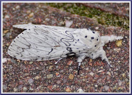 Weißer Gabelschwanz oder Hermelinspinner (Cerura erminea), 05.06.2018, Staaken/Berlin
