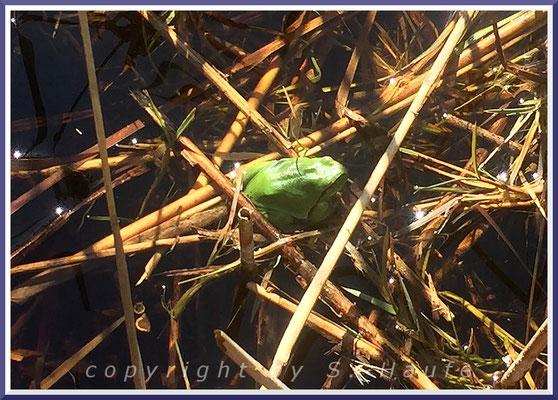 Europäischer Laubfrosch (Hyla arborea), 05.04.2020, Darß