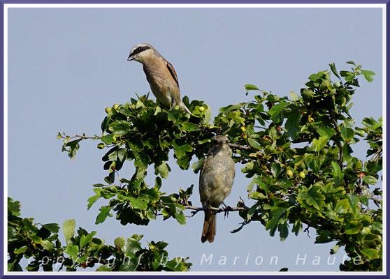 Neuntöter-Männchen mit Jungvogel , 19.07.2020, Staaken/Berlin