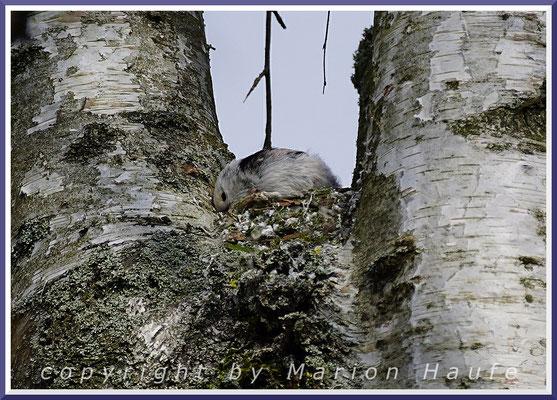 Schwanzmeisen-Paar (Aegithalos caudatus) beim Nestbau in einer Birke, 02.04.2020, Staaken/Berlin