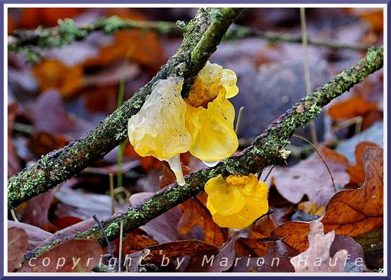 Goldgelbe Zitterlinge (Tremella mesenterica) am Hahneberg - Totholz/Eiche am Boden