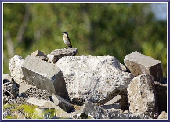 Steinschmätzer-Männchen (Oenanthe oenanthe) am Brutplatz in einem Schutthaufen